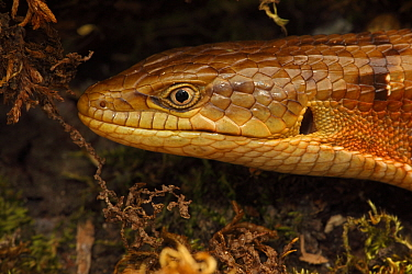 Close up head portrait of Southern Alligator Lizard (Elgaria multicarinata) Oregon, USA, captive