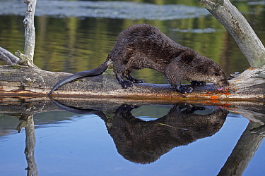 Canadian Otter (Lutra canadensis) licking a Lichen covered log over a river, Wyoming, USA