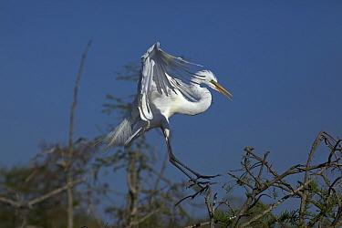 Great Egret (Ardea alba) landing in tree top, Louisiana, USA