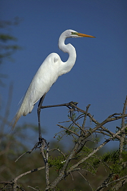 Great Egret (Ardea alba) portrait, perched on tree branch, Louisiana, USA