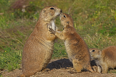 Two Blacktail Prairie Dogs (Cynomys ludovicianus) one adult, and a juvenile, engaging in a greeting 'kiss' Wyoming, USA