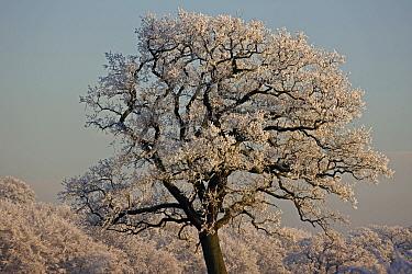 Hoar frost covering mature tree in winter, Warwickshire, England, UK, December 2010
