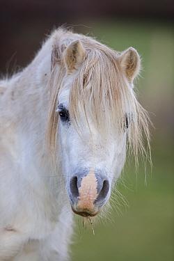 Welsh Mountain pony (Equus caballus) head portrait, a descendent of the ancient Celtic mountain pony, Wales, UK
