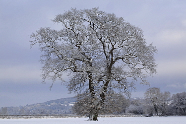 Winter scene with mature tree covered in snow, Herefordshire, England, UK, December 2010