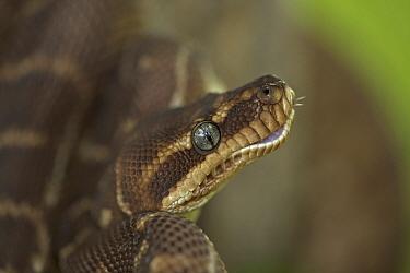 Rough scaled python (Morelia carinata) in defensive posture, captive, Australia