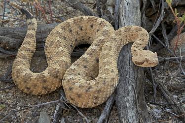 Sidewinder rattlesnake (Crotalus cerates) moving over wood, Sonoran desert, Arizona, USA