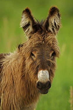 Feral Burro / Donkey (Equus asinus) portrait, Custer State Park, South Dakota, USA
