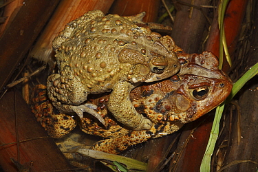"""American toad (Bufo americanus) or """"Hop toad"""" pair in amplexus, the male (top) clasping the female. New York, USA, Jan 2000"""