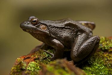Green frog (Rana clamitans) on mossy stone. New York, USA, October