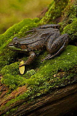 Green frog (Rana clamitans) on mossy log. New York, USA, October