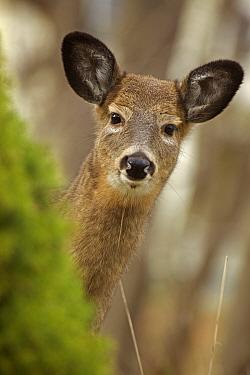 White-tailed deer (Odocoileus virginianus) doe. New York, USA, November