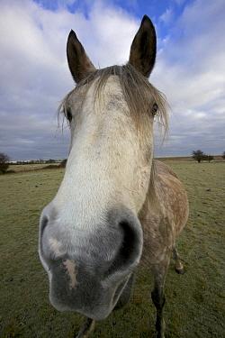Arab horse (Equus caballus) in a field. UK, December