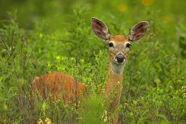 Mule deer (Odocoileus hemionus) portrait of doe standing in long grass, South Dakota, USA