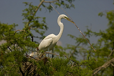 Great Egret (Ardea alba) in a tree with a large stick for nesting material. Louisiana, USA, April.