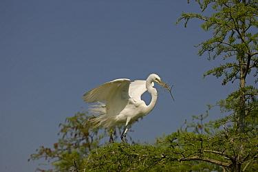 Great Egret (Ardea alba) in tree with nesting material. Louisiana, USA, April.