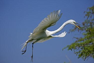 Great Egret (Ardea alba) calling in flight. Louisiana, USA, April.