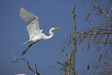 Great Egret (Ardea alba) in flight. Louisiana, USA, April.