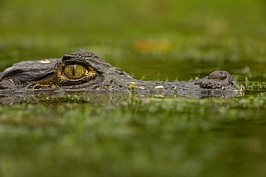 Spectacled Caiman (Caiman crocodilus) eye above water surface. Costa Rican tropical rainforest.