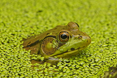Green Frog (Rana clamitans) among duck weed on water surface. New York state, USA, September.