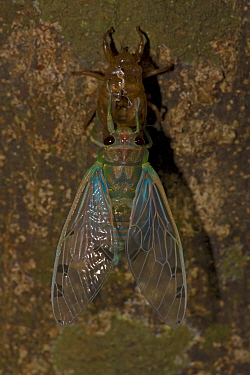 Emerald Cicada (Zammara smaragdina) newly emerged adult from its nymph exoskeleton, wings showing irridescence. Santa Rosa National park tropical dry forest, Costa Rica.