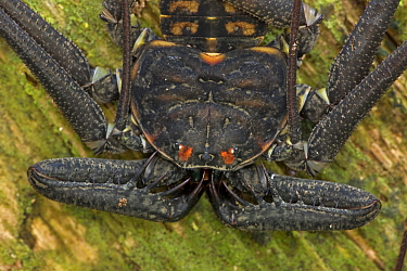 Close-up of Tail-less Whip Scorpion (Phrynus / Amblypygi whitei). Santa Rosa National Park tropical dry forest, Costa Rica.