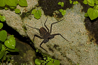 Tail-less Whip Scorpion (Phrynus / Amblypygi whitei). Santa Rosa National Park tropical dry forest, Costa Rica.