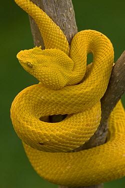 Eyelash Palm-pitviper (Bothriechis / Bothrops schlegeli) coiled in strike pose. Costa Rica. Captive.