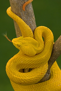 Eyelash Palm-pitviper (Bothriechis / Bothrops schlegeli) coiled in strike pose with tongue extended. Costa Rica. Captive.