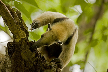 Northern Tamandua (Tamandua mexicana) foraging for ants or termites in a tree. Santa Rosa National Park tropical dry forest, Costa Rica.