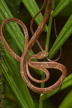 Blunthead Tree Snake (Imantodes cenchoa) coiled around vegetation. Costa Rican tropical rainforest.