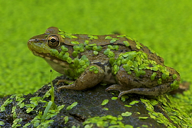 Green Frog (Rana clamitans) covered with duckweed. New York state, USA.