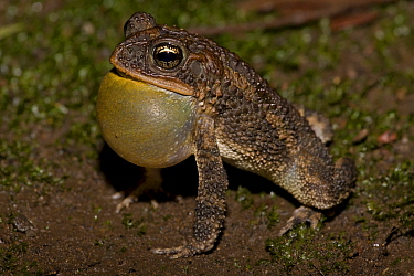 Male Southern round gland toad (Incilius / Bufo coccifer) calling, vocal sac inflated, Costa Rica, September