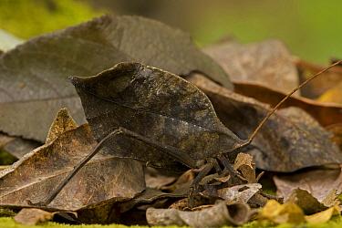 Katydid (Tettigonidae) camouflaged to mimic a leaf, a defense from predators. Costa Rica, Central America.