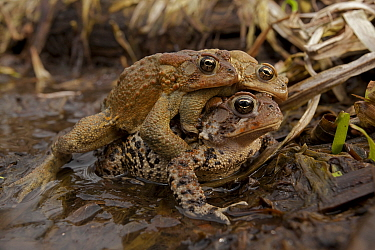 American toad (Bufo americanus) several males attempting to mate with one female, New York, USA