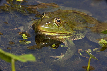 Chiricahua Leopard Frog (Rana chiricahuensis) also known as Ramsey Canyon Leopard Frog (Rana subaquavocalis) in water, IUCN vulnerable, Arizona, USA