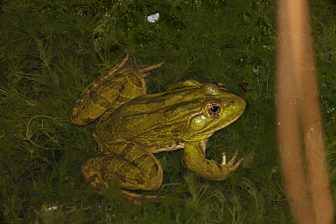 Chiricahua Leopard Frog (Rana chiricahuensis) also known as Ramsey Canyon Leopard Frog (Rana subaquavocalis) in water at dusk, IUCN vulnerable, Arizona, USA