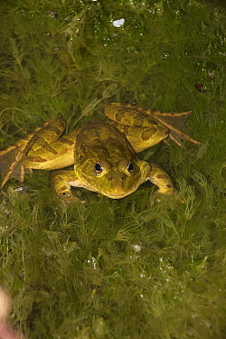 Chiricahua Leopard Frog (Rana chiricahuensis) also known as Ramsey Canyon Leopard Frog (Rana subaquavocalis) IUCN vulnerable, Arizona, USA
