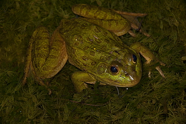 Chiricahua Leopard Frog (Rana chiricahuensis) also known as Ramsey Canyon Leopard Frog (Rana subaquavocalis) at dusk, IUCN vulnerable, Arizona, USA