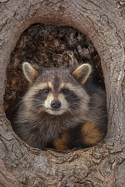 Raccoon (Procyon lotor) in tree hole, New York, USA