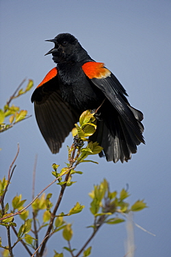Red-winged Blackbird (Agelaius phoeniceus) male calling. New York, USA, May.