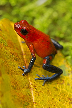 Strawberry poison-dart frog, (Oophaga pumilio / Dendrobates pumilio), Costa Rica