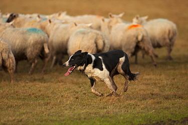 Border Collie, herding sheep, Herefordshire, England, United Kingdom, January