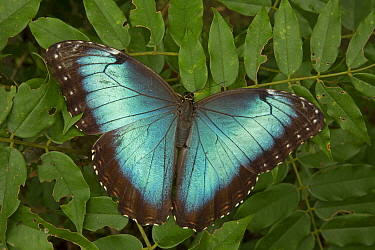 Blue Morpho (Morpho peleides) with wings open showing irridescent blue. Costa Rica.
