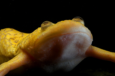 African Clawed Frog (Xenopus laevis), captive. Native to Southern Africa, Xenopus is now a scientific model organism, used extensively in research.