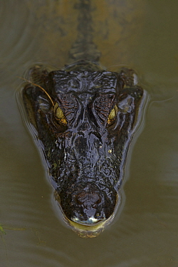 Spectacled Caiman (Caiman crocodilus) at water surface. Costa Rica.