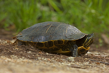 Red-eared slider (Trachemys scripta elegans) female laying eggs, Louisiana, USA, May.