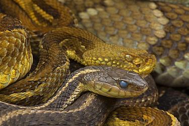 Timber rattlesnakes (Crotalus horridus) and Common gartersnake (Thamnophis sirtalis) gravid females, Pennsylvania, USA, July.