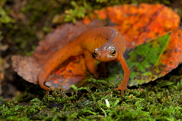 Red-spotted newt (Notophthalmus viridescens) red eft (terrestrial phase), New York, USA, July.