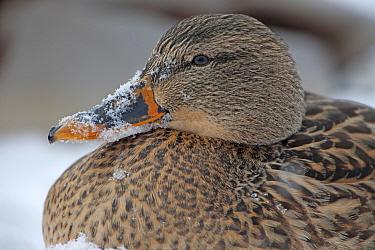 Mallard, (Anas platyrhynchos) female duck with snow on beak, New York, USA, January.