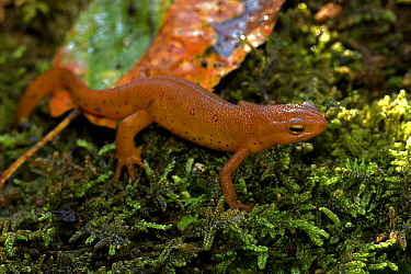 Red-spotted newt (Notophthalmus viridescens) red eft or terrestrial phase, New York, USA, July.